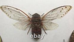 5 Cicadas Display Deep Shadow Box Frame Case Beetle Insect Bug Taxidermy